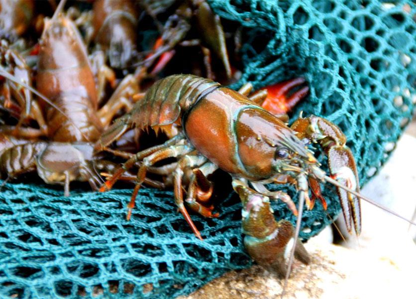 how to buy crawfish
